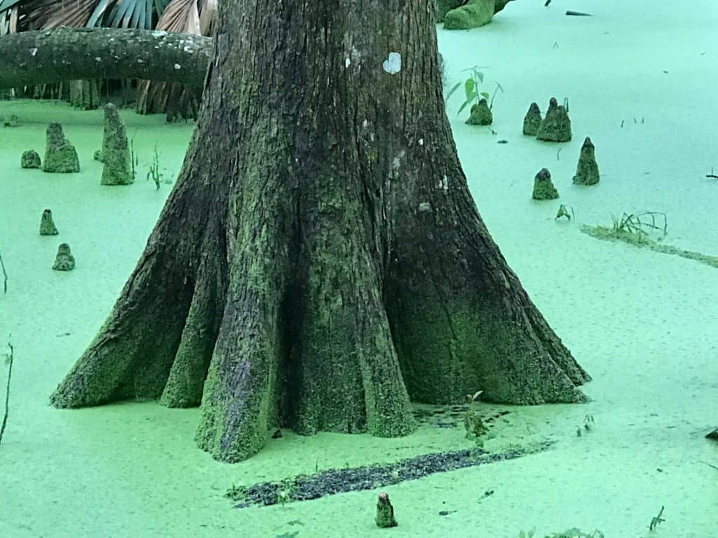 silver springs campground trail Florida, swampy cypress