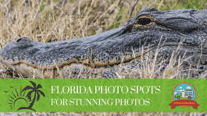 florida photo spots for stunning photos image is an aligator